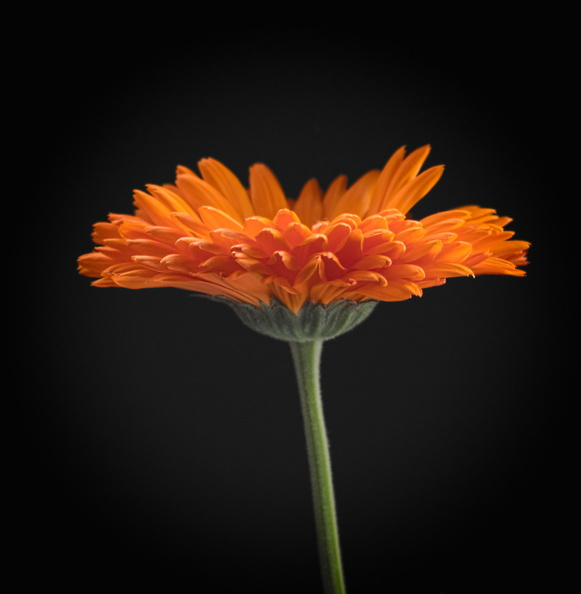 Orange Daisy.jpg